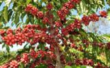 Controle da quantidade de cobre no cafeeiro pode ser feito através de um novo biossensor
