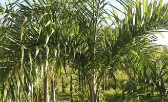 A pupunha é boa opção de cultivo para áreas litorâneas com pouca aptidão agrícola