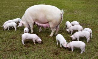 Alimentação de suínos terá ácidos orgânicos para evitar substâncias recusadas pelo mercado internacional