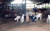 Apriscos bem planejados evitam doenças e ataques de animais ao rebanho de caprinos e ovinos