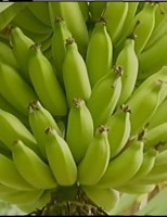 Cuidados no plantio da banana ajuda o produtor a ter mais lucro