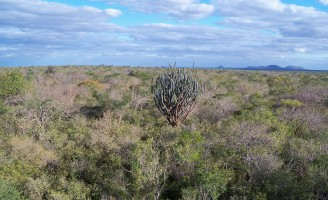 Uma homenagem ao único bioma exclusivamente brasileiro