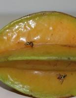 Cientistas descobrem novas plantas que são hospedeiras da mosca-da-carambola