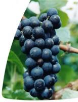 A Uva Gamay, Também é uva nobre