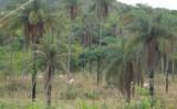 Pesquisadores trabalham para domesticar a macaúba no nordeste