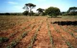 Pequenas propriedades podem usar técnicas fáceis de aumentar renda com o milho