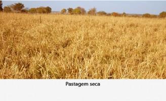 O gado pode ganhar peso mesmo no período de seca