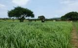 A melhoria das pastagens torna a pecuária mais eficiente e diminui os problemas do efeito estufa