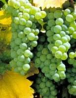Um saboroso combate entre as uvas Chardonnay e Sauvignon Blanc