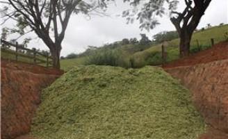 A importância da silagem de milho e de sorgo para a alimentação do gado