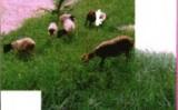 Um capim com ótimo aproveitamento no semiárido brasileiro