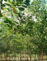 Plantar leguminosas em floresta de eucalipto gera economia de fertilizantes