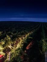 Um vinho especial produzido a partir de uvas colhidas à noite