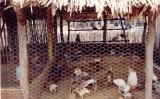 Cuidados com a criação e abate de frango caipira