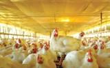 Como criar frangos de corte atendendo as boas práticas ambientais