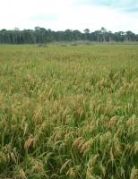 Produtores de arroz se reúnem hoje para definir metas de exportação