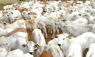 Novilho precoce com técnicas especiais para a pecuária de cria
