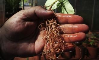 Extratos naturais são usados para combater o ataque de nematoides nas plantações