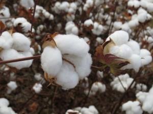 algodão no campo