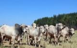 Estudo diz que melhoramento genético na pecuária ajuda a reduzir os gases de efeito estufa