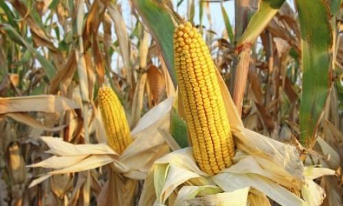 Minas Gerais registra recorde na produção de milho