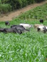 Boas notícias para a pecuária leiteira
