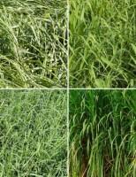 Pesquisadores estudam novos tipos de forrageiras que se adaptem ao semiárido