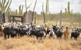 A importância da criação de caprinos e ovinos para o semiárido brasileiro