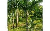 Criado um software que auxilia produtores de pupunha para palmito a gerenciar toda a plantação