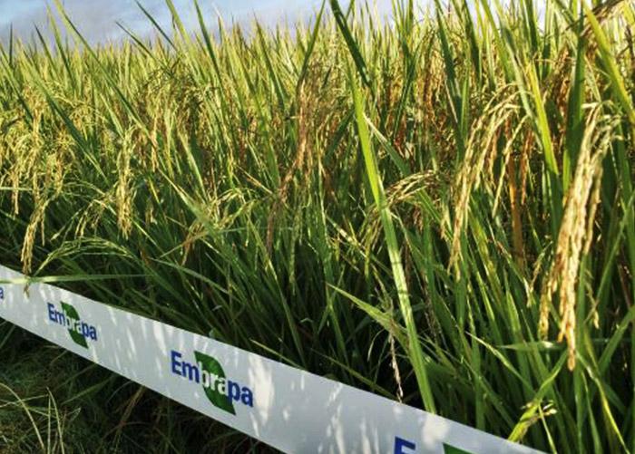 arroz irrigado