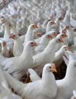 As vendas de carne de frango para o exterior crescem 16,2% em outubro