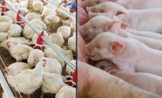 A importância do controle analítico para o bom desempenho das cadeias de frango, ovos e suínos