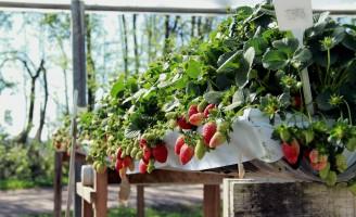 Plantando morango fora da terra