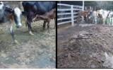A falta de cuidado contra o ataque de vermes prejudica a pecuária brasileira