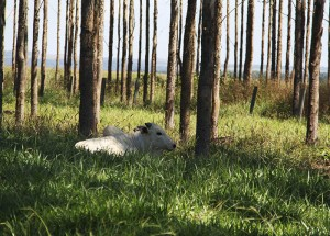 gado na sombra