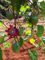 maracujá nova semente