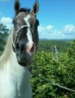 Criadores brasileiros estão preferindo reforçar os rebanhos com cavalos de origem nacional
