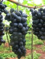 Uma cultivar de uva sem semente mais produtiva e que se adapta bem ao nordeste