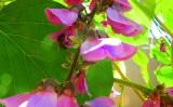 O solo do cerrado pode ser recuperado com uma planta leguminosa nativa