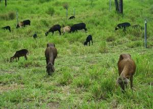 Pastagem com ovelhas