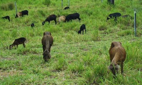 """<h2><a href=""""http://nordesterural.com.br/pesquisadores-estudam-formas-de-diversificar-a-alimentacao-dos-rebanhos-no-nordeste/"""">Pesquisadores estudam formas de diversificar a alimentação dos rebanhos no nordeste</a></h2>Em um contexto de criação predominantemente extensiva de animais e limitação de recursos hídricos, condições que dificultam a manutenção de pastos cultivados para rebanhos, a produção de animais no Semiárido"""