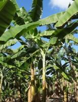 Sementes resistentes de bananeira ajudam a vencer as pragas que atacam a cultura