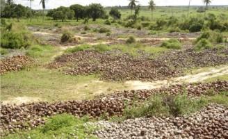 Casca de coco verde é um excelente adubo para as plantações de coqueiro