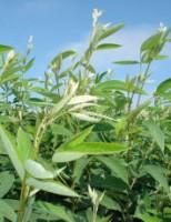 Recuperação natural das pastagens usando a leguminosa Guandu BRS Mandarim