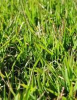 O enriquecimento da caatinga com o plantio do capim-gramão