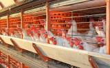 Atenção para os donos de granjas de avicultura