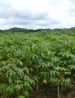 Produzir manivas de mandioca em estufa é mais rápido para formar o plantio