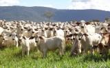 Organização Mundial de Saúde Animal deve reconhecer o Brasil livre de aftosa com vacina