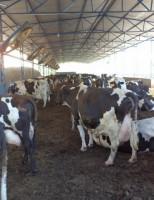 A cadeia produtiva do leite investe em tecnologia digital para crescer em produtividade