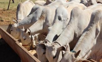 Suplemento mineral é importante para a saúde e desempenho dos bovinos